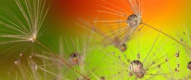 dandelion-319939 couleur or